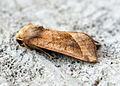 (2361) Rosy Rustic (Hydraecia micacea) (14918759752).jpg