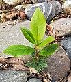 (MHNT) Arbutus unedo Juvenile.jpg