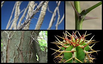 Aerial stem modification - Thorns.