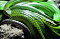 Πράσινο Μάμπα.JPG