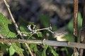 Богомол эмпуза - Empusa pennata - Conehead mantis - Богомолка - Haubenfangschrecke (10693508734).jpg