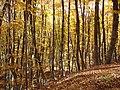 Буковий ліс в Кримському заповіднику.jpg