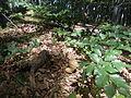 Гриб у буковому лісі.JPG