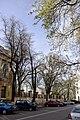 Група вікових дерев береки 03.jpg