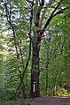 Дуб Петра Могили, кв. 3 виділ 15 01.jpg