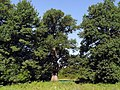Дуб звичайний (Quercus robur).jpg
