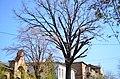 Дуб красавец по улице Архитектора Артынова, 24 в Винице. Фото 2.jpg