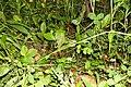 Земляника лесная (Fragaria vesca) f014.jpg