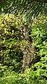 Межовий дуб. Колиндянське лісництво.jpg