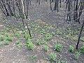 Новая трава на пожарище - panoramio.jpg