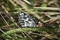 Пестроглазка галатея - Marbled White - Melanargia galathea - Шахматна пеперуда (14524027845).jpg
