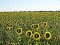 Подсолнухи - sunflowers - panoramio (1).jpg