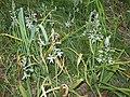 Рястка Буше Ornithogalum boucheanum (Kunth) Asch.,.jpg