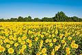 Сигнално жълто-зелено (Signal yellow-green) - panoramio.jpg