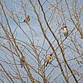 Черноголовый щегол (Обыкновенный щегол) - Carduelis carduelis - European goldfinch - Кадънка - Stieglitz (24647971854).jpg