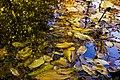 برگ روی برکه-پاییز-Floating leaves fallen from trees 01.jpg