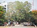 നായ്ക്കൻ-ആൽ-തൃശ്ശൂർ.jpg