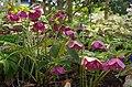 クリスマスローズ 花の文化園にて Helleborus niger 2014.4.01 - panoramio.jpg