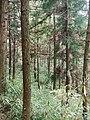 万源-庙垭-60年代知青植的树已成林 - panoramio.jpg