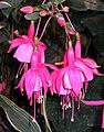 倒掛金鐘 Fuchsia Bashful -昆明世博園 Kunming Expo Gardens, China- (15009388245).jpg