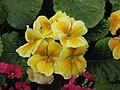 報春花 Primula malacoides Beauty Series -香港花展 Hong Kong Flower Show- (9216101906).jpg