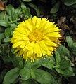 大花金雞菊 Coreopsis grandiflora -湖北孝感董永公園 Xiaogan, Hubei, China- (34151139431).jpg