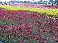 富里花海 Fuli Flower Fields - panoramio.jpg