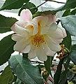 山茶花-半重瓣荷花型 Camellia japonica Semi-double Lotus Form -深圳園博園茶花展 Shenzhen Camellia Show, China- (9255191614).jpg