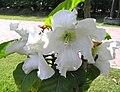 思茅清明花 Beaumontia murtonii -泰國清邁花展 Royal Flora Ratchaphruek, Thailand- (9229875344).jpg
