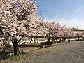 春の今井小.jpg
