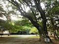 曽許乃御立神社の御神木 - panoramio.jpg