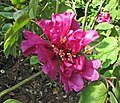 江南牡丹-輕羅 Paeonia suffruticosa 'Light Silk' -上海古猗園 Shanghai, China - (17209200512).jpg