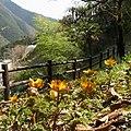 津越の福寿草 Amur adonis in Tsugoshi 2012.3.11 - panoramio.jpg