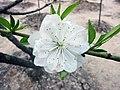 白碧桃 Prunus persica v albo-plena -上海植物園 Shanghai Botanical Garden- (17341344246).jpg