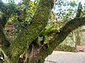 老樹 old tree - panoramio.jpg