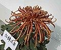 菊花-鉤環型 Chrysanthemum morifolium Curlies-tubular-series -上海共青森林公園 Shanghai, China- (9207628568).jpg