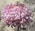 菊花-銀翩球 Chrysanthemum morifolium -香港圓玄學院 Hong Kong Yuen Yuen Institute- (12099275013).jpg