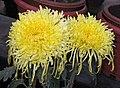 菊花-黃金鳳 Chrysanthemum morifolium 'Yellow Golden Phoenix' -中山小欖菊花會 Xiaolan Chrysanthemum Show, China- (12129359843).jpg