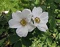薔薇屬 Rosa dumalis -波蘭華沙 Powsin PAN Botanical Garden, Warsaw- (36488268661).jpg