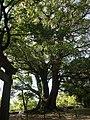諫早公園の大クス - panoramio.jpg