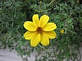 輪葉金雞菊 Coreopsis verticillata -香港花展 Hong Kong Flower Show- (25867843861).jpg