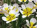 鬱金香屬 Tulipa saxatilis v bakeri 'Lilac Wonder' -日本大阪鮮花競放館 Osaka Sakuya Konohana Kan, Japan- (40419254000).jpg