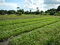 0216jfPanoramics Pulilan Vegetables Plants Philippinesfvf 12.JPG