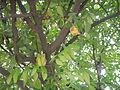 02922jfAverrhoa Tree Fruits carambolafvf 07.JPG