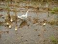 0298jfLands Culianin Ducks Plaridel Bulacan Cattle Fieldsfvf 17.JPG