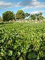 04506jfDomesticated Water Hyacinth Pescadores Poblacion Candaba Pampangafvf 05.JPG