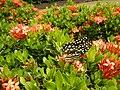 09019jfClose-ups of butterflies on flowers Bulacanfvf 06.jpg