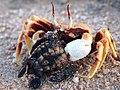 110127 Running ghost crab O ceratophtalma prey Loggerhead hatchling Gnaraloo Bay Rookery.JPG