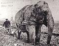 1917 Elephant vor dem Pflug.jpg