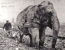 Histoire de pachyderme dans ELEPHANT 220px-1917_Elephant_vor_dem_Pflug